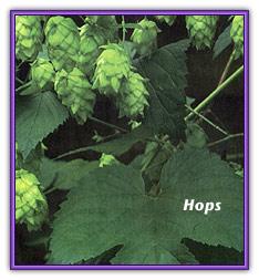 how to grow hops uk